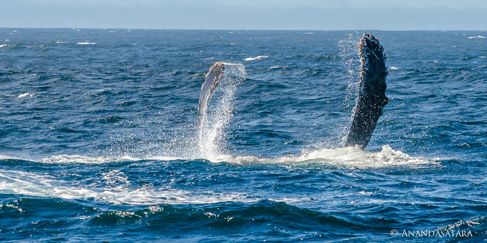 """Embrace"" Humpback Whale, Monterey Bay, California"