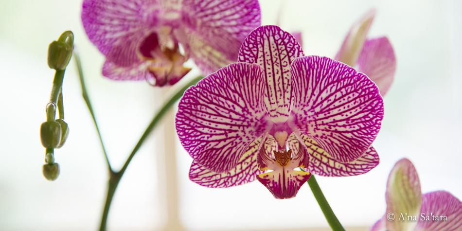 soul ascension orchid flower