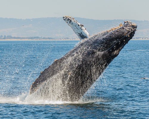 Earth Service Humpback Whale