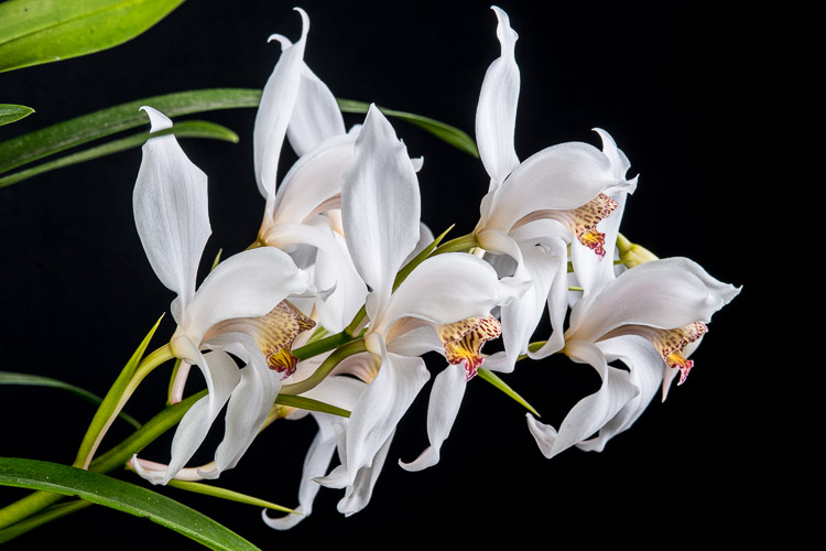 Ancient Energy Orchids